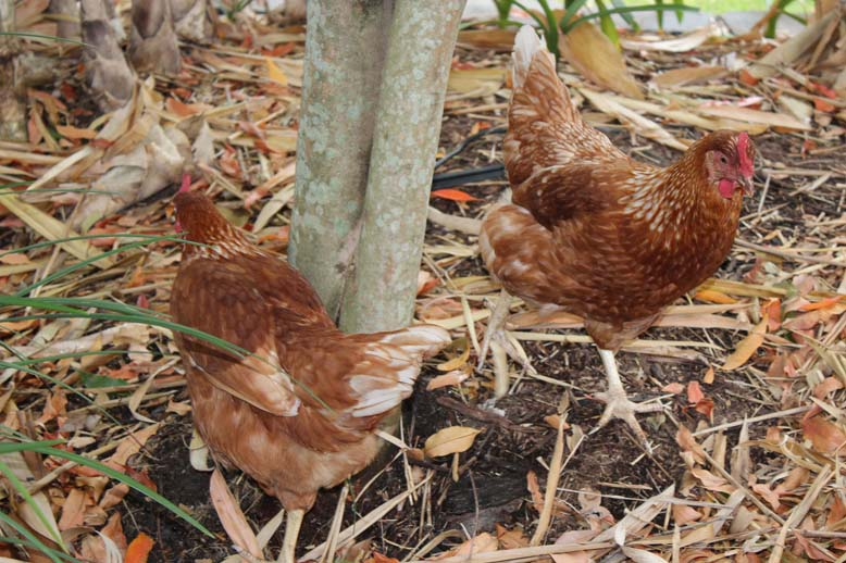 Chooks(small)
